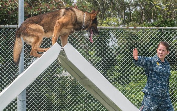 Master-at-Arms 3rd Class Kelsey Carlton, from Clearwater, Fla., assigned to Military Working Dog unit at Fleet Activities Yokosuka, Japan, conducts obstacle course training with military working dog Donci. | Military Times >>