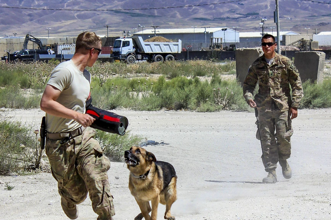 Army Spc. Anthony Andrews, background, watches as Andy, his military working dog, chases a role player during training on Tactical Base Gamberi, Afghanistan. | Military Times >>