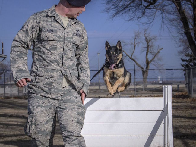 71st Security Forces Squadron MWD Rea gets loose on the kennel section obstacle course at Vance Air Force Base, Oklahoma. Obstacle work helps teach MWDs obedience and how to handle real-world obstacles in austere locations. Rea was one of two Vance MWDs that were a part of Pope Francis' security detail during his 2015 U.S. visit.  | Military Times >>